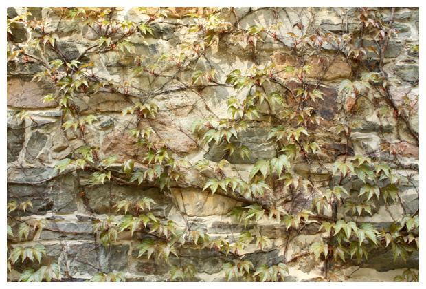 foto's, Wilde wingerd (Parthenocissus), plant