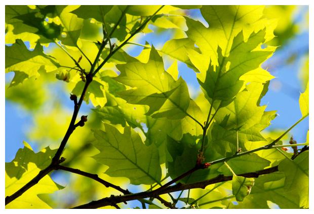foto´s, Amerikaanse eik (Quercus rubra), boom