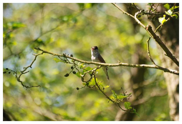 foto´s, Zwartkop (Sylvia atricapilla), vogel