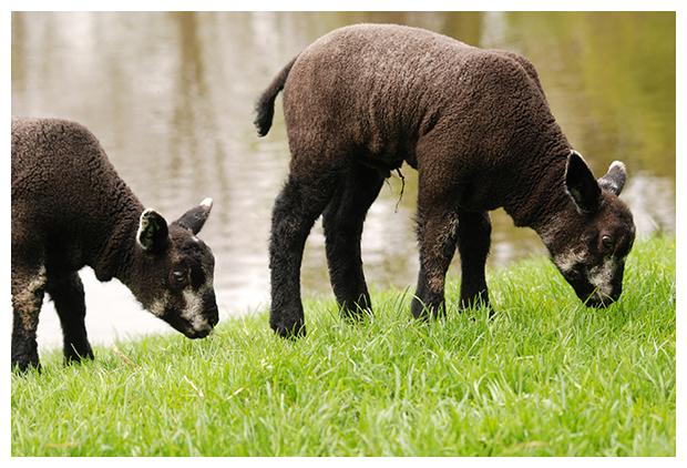 foto's, Blauwe texelaar, schaap (Ovis), dier