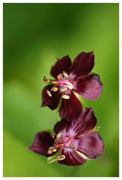 foto's, Donkere ooievaarsbek (Geranium phaeum), plant