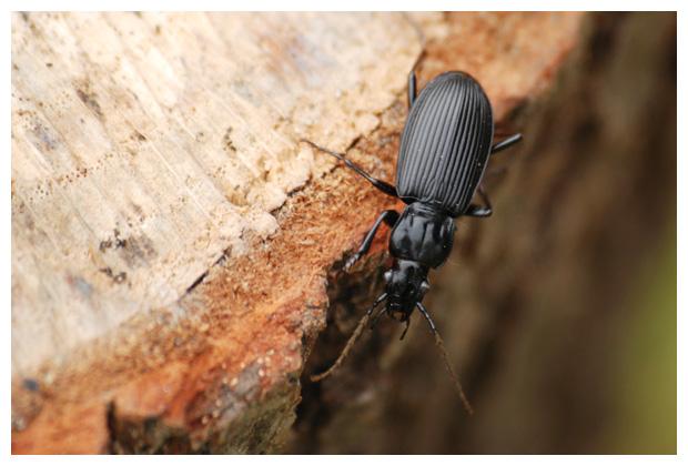 foto´s, Grote zwartschild (Pterostichus niger), Loopkevers (Carabidae), kever