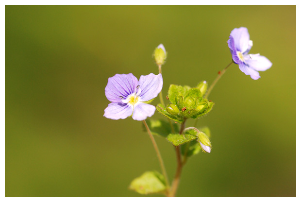 foto's, Draadereprijs (Veronica filiformis), eplant