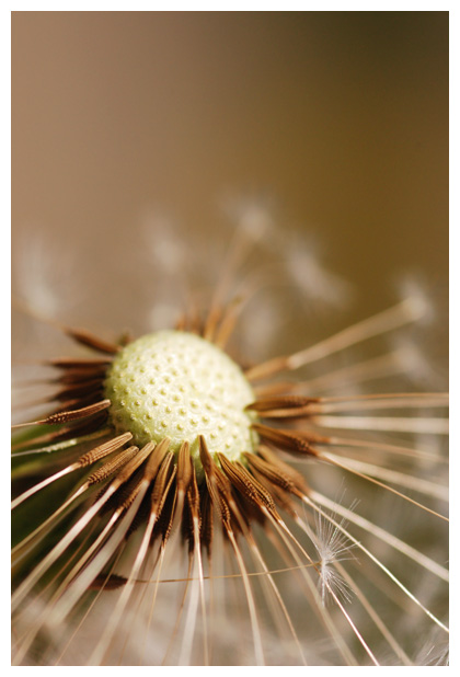 foto's, Paardenbloem (Taraxacum officinalis)