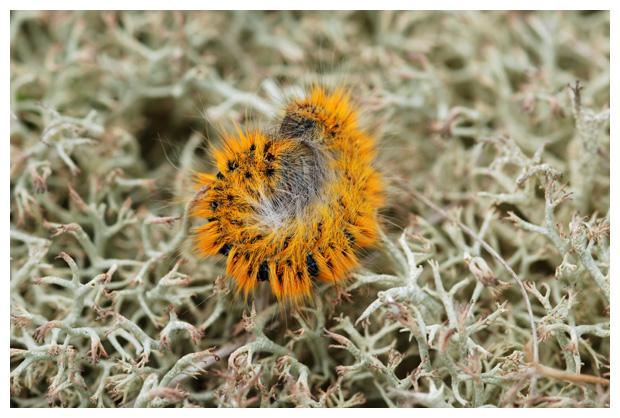 foto's, Kleine hageheld (Lasiocampa trifolii), nachtvlinder