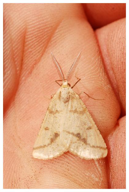 foto's, Gele kustspanner (Aspitates ochrearia), vlinder, nachtvlinder