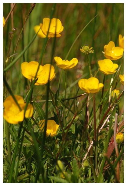 foto's, Knolboterbloem (Ranunculus bulbosus), plant