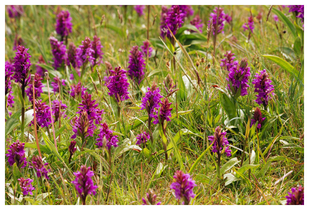 foto´s, Brede orchis (Dactylorhiza majalis), orchidee