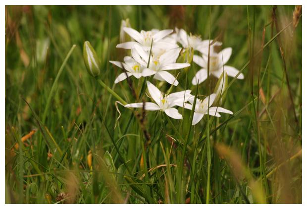 foto's, Gewone vogelmelk (Ornithogalum umbellatum), bloem