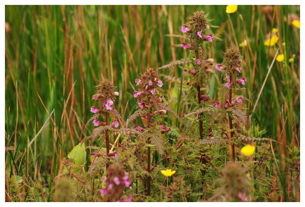 foto's, Moeraskartelblad (Pedicularis palustris)