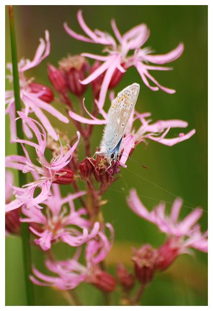 foto's, Echte koekoeksbloem (Silene flos-cuculi, syn. lychnis flos-cuculi)