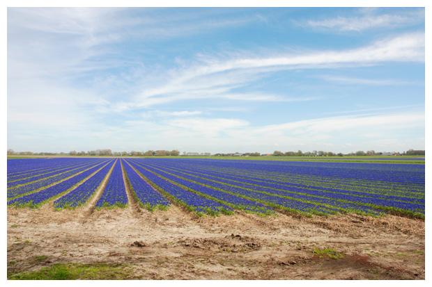foto's, Blauwe druifjes (Muscari botryoides), bolgewas