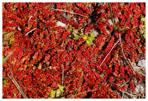 foto's, Mosbloempje (Crassula tillaea), vetplant