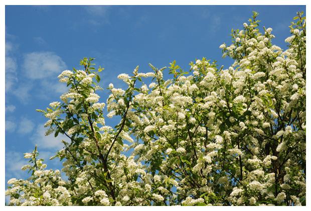 foto's, Gewone vogelkers (Prunus padus), heester