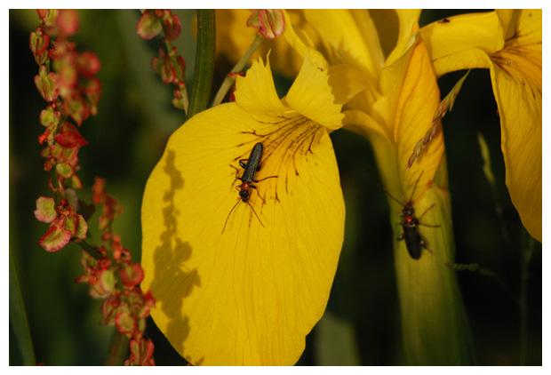foto's, diverse verschillende soorten schijnboktorren (Oedemeridae), kever op gele lis