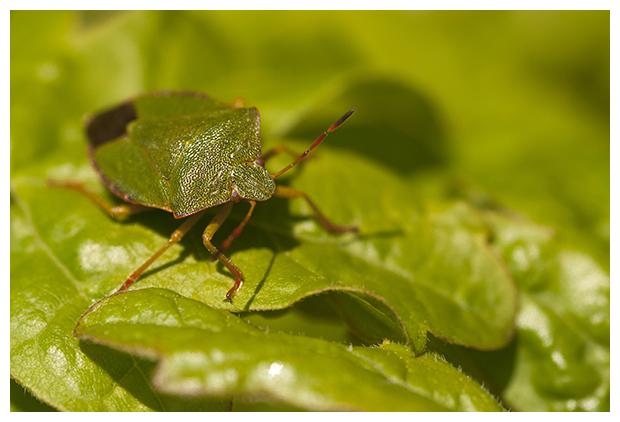 foto's, Groene stinkwants, schildwants, (Palomena prasina), wants