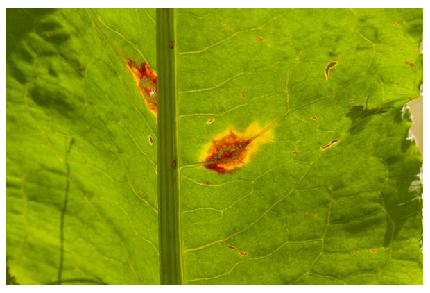 foto's, Zuring-rietroest (Puccinia phragmitis), roest op zuring