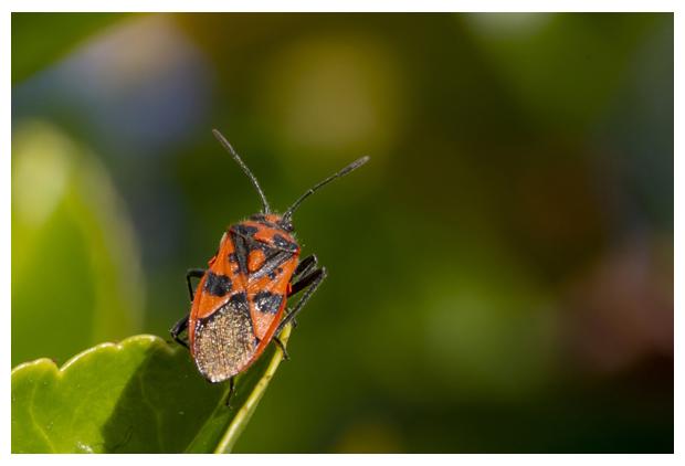 foto's, Kaneelglasvleugelwants (Corizus hyoscyami), wants