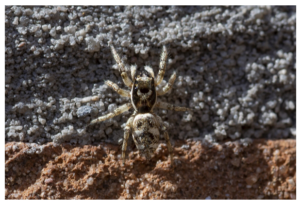 foto's,Huiszebraspin (Salticus scenicus), spin