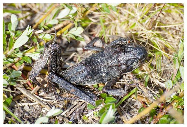 foto's, Bruine kikker (Rana temporaria), uitgedroogd, dood