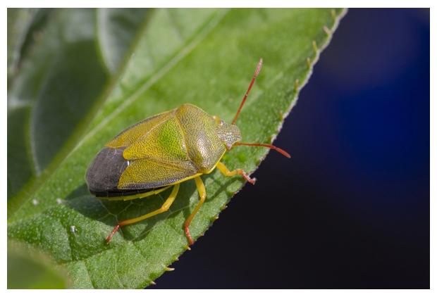 foto's, Bremschildwants (Piezodorus lituratus), wants