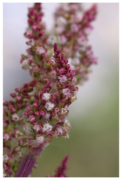foto's, Veldzuring (Rumex acetosa), zuring