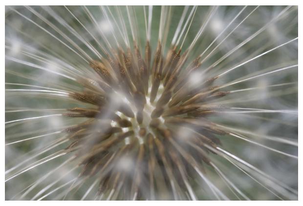 foto, Paardenbloem (Taraxacum officinalis), plant