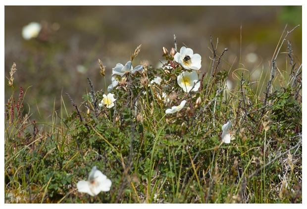 foto's, Duinroos (Rosa pimpinellifolia syn. rosa spinosissima), roos duinen