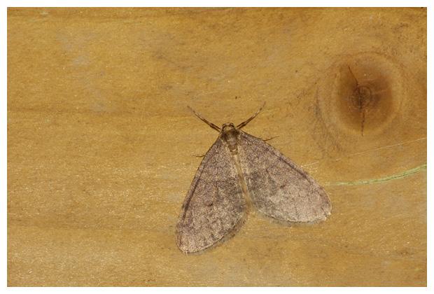 foto's, Kleine wintervlinder (Operophtera brumata), nachtvlinder