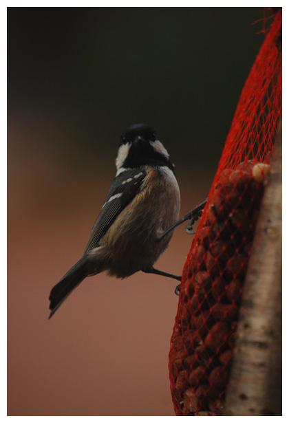 foto's, Zwarte mees (Periparus ater), vogel