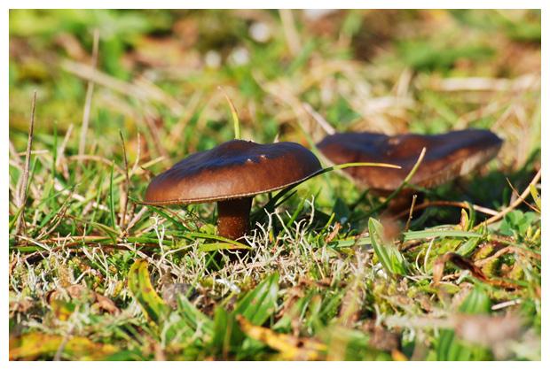 foto's, Zwartwitte veldridderzwam (Melanoleuca polioleuca), paddenstoel