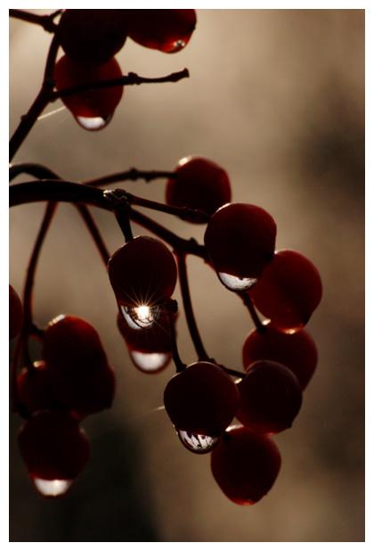 foto´s, Gelderse roos (Viburnum opulus), heester