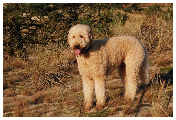 foto's, Grote poedel of koningspoedel, hond