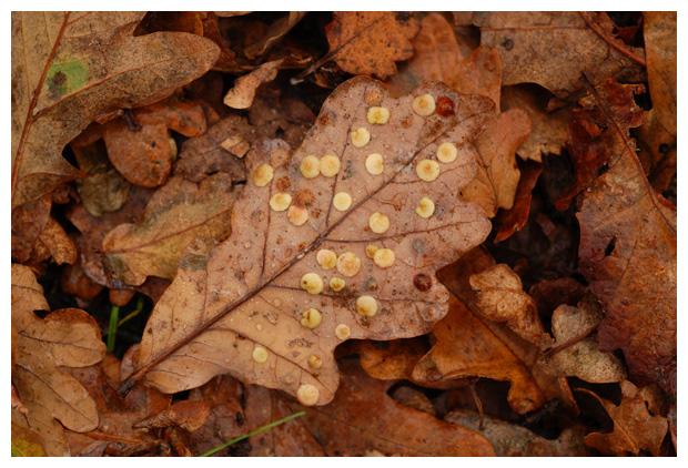 foto's, Zomereik (Quercus robur), eik, gal