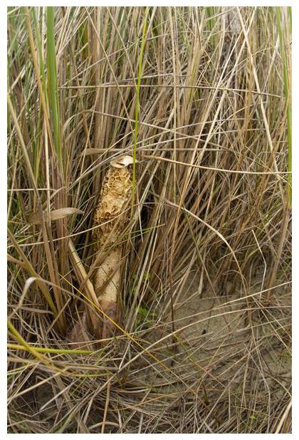 foto´s, Duinstinkzwam (Phallus hadriani), paddenstoel duinen