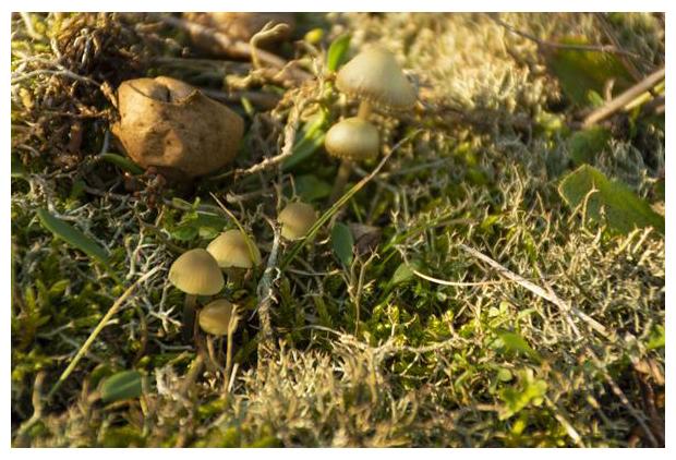 foto's, Groene mycena (Mycena chlorantha), paddenstoel