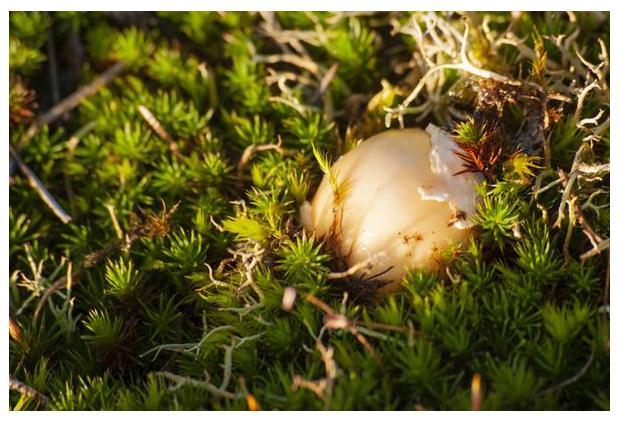 foto's, Narcisamaniet (Amanita gemmata), paddenstoel