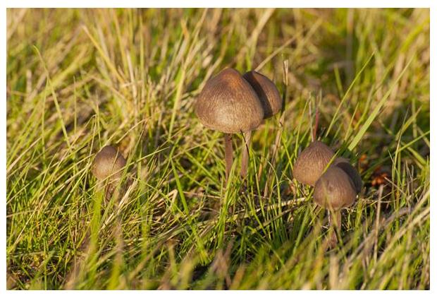 foto's, Franjevlekplaat (Panaeolus papilionaceus), paddenstoel op mest