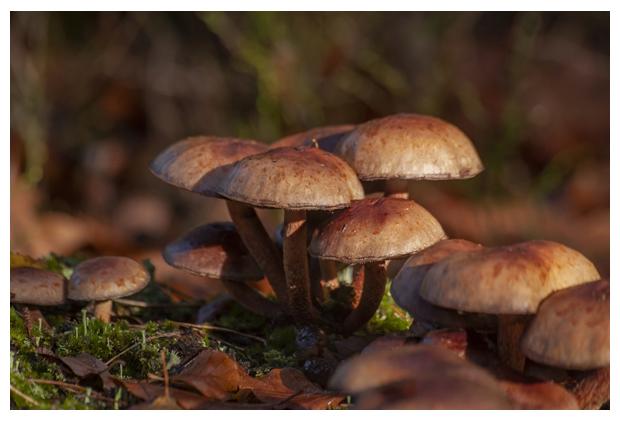 foto's, Rode zwavelkop (Hypholoma lateritium), paddenstoel