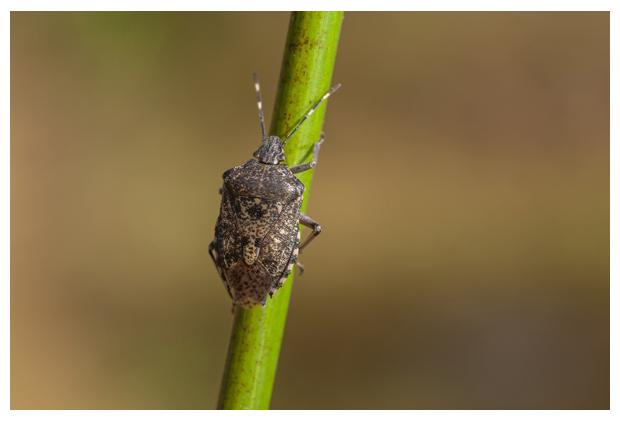 foto's, Grauwe schildwants (Rhaphigaster nebulosa), wants