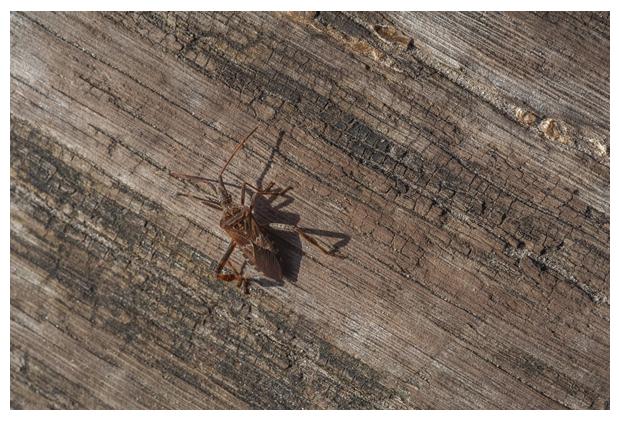 foto's, Bladpootrandwants (Leptoglossus occidentalis), wants