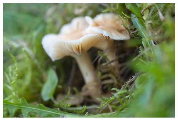 foto's, Weidewasplaat (Hygrocybe pratensis), paddenstoel