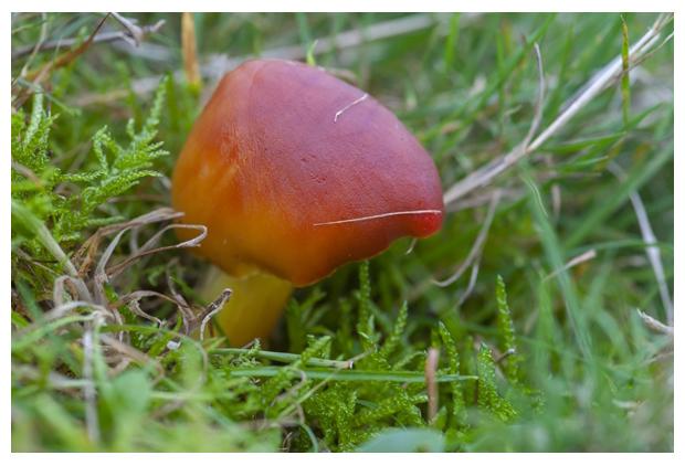 foto's, Granaatbloemwasplaat (Hygrocybe punicea), paddenstoel