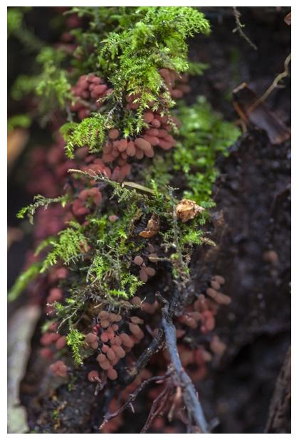 foto's, Karmijnrood netwatje (Arcyria denudata), slijmzwam