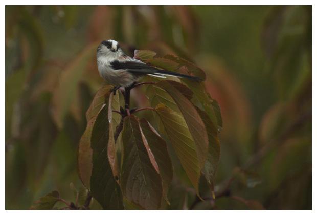 foto's, Staartmees (Aegithalos caudatus), vogel