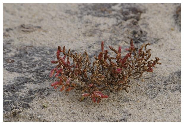 foto´s, Zeekraal, zouterik (Salicornia), plant
