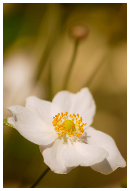 foto's, Herfst, Japanse of Chineese anemoon (Anemone hybrida)