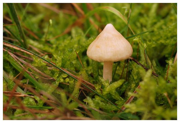 foto, Witte satijnvezelkop (Inocybe geophylla), paddenstoel