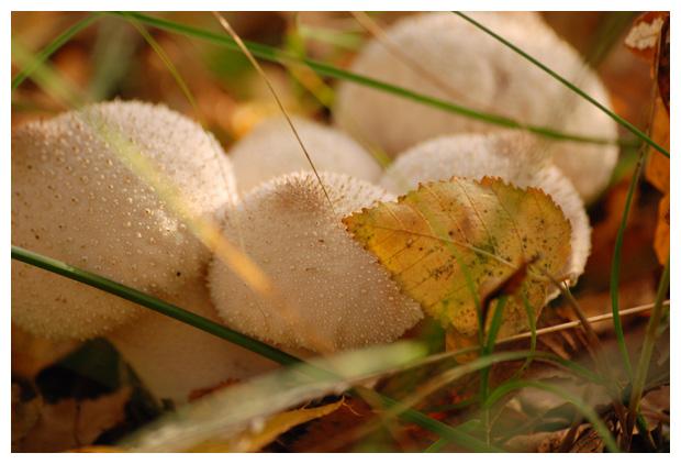foto´s, Parelstuifzwam (Lycoperdon perlatum), paddenstoel