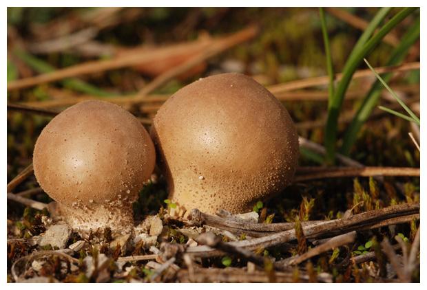 foto´s, Zachtstekelige stuifzwam (Lycoperdon molle), paddenstoel